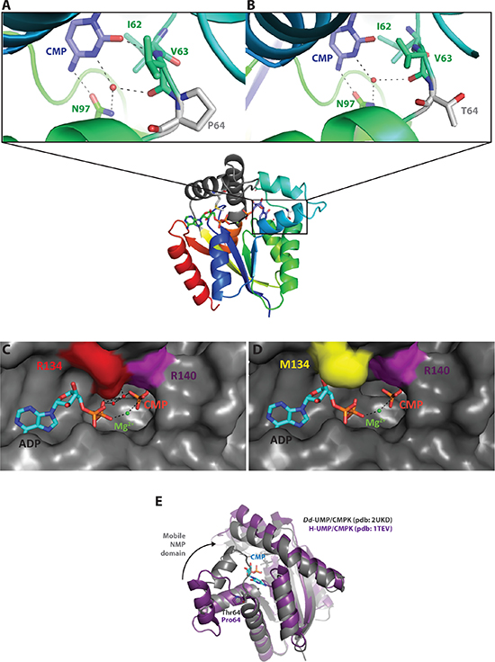 Structure-function relationship analysis of the mutant UMP/CMPK1s.