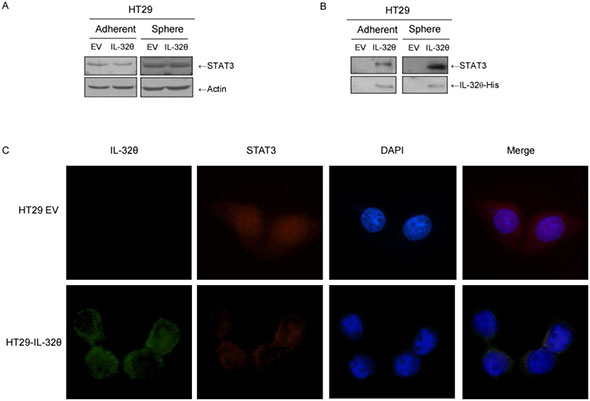 IL-32θ inhibits nuclear translocation of STAT3 through direct binding in HT29 cells.