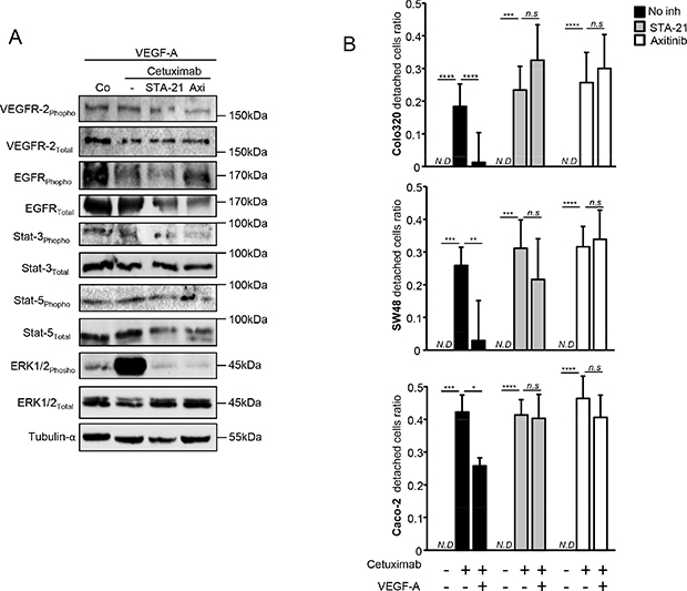 VEGFR2/Stat-3 pathway is involved in VEGF-A-induced resistance to anti-EGFR therapy.