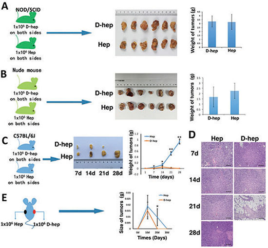 Tumorigenicity of Hep or D-hep cells in NOD/SCID mice, nude mice and C57BL/6 mice.