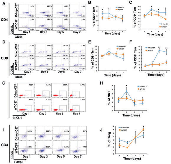 Memory and effector T cells were activated after Hep cells were injected into D-hep-C57 mice.