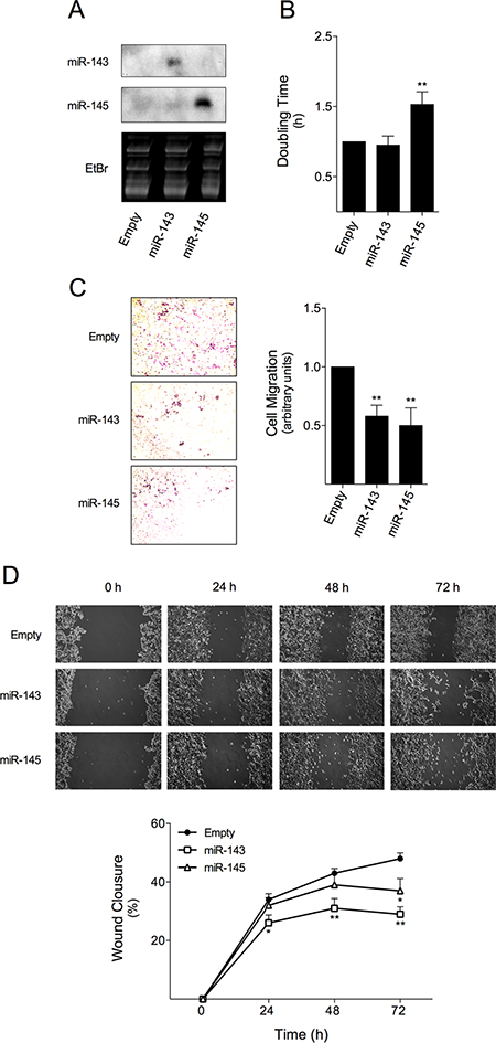 miR-143 or miR-145 overexpression reduces HCT116 colon cancer cell doubling time and migration.