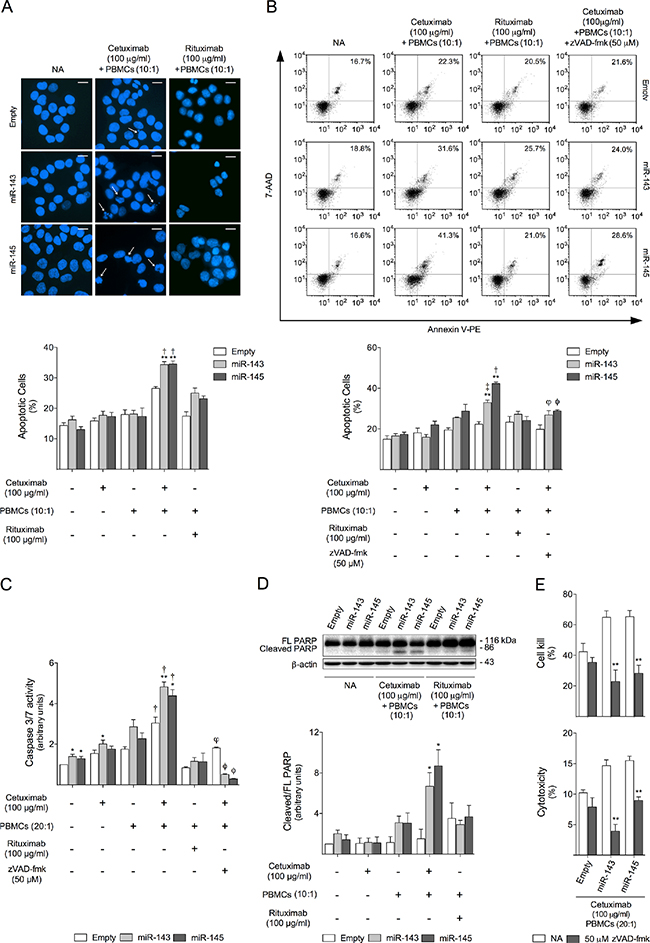 miR-143 or miR-145 overexpressing cells are more sensitive to cetuximab-mediated ADCC-induced apoptosis.