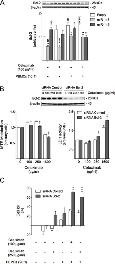 Bcl-2 is involved in cetuximab sensitization induced by miR-143 or miR-145 overexpression, increasing cell susceptibility to cetuximab-mediated ADCC.