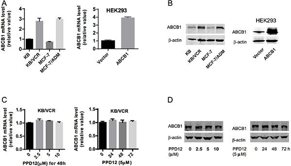 The effects of PPD12 on ABCB1 mRNA and protein levels in MDR cells.