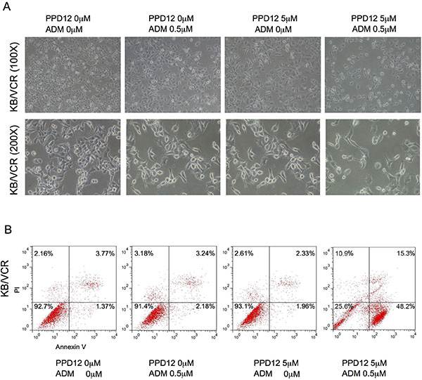 PPD12 enhances chemotherapeutic effects on ABCB1-expressing MDR cells.