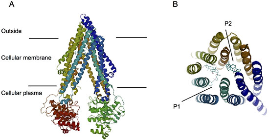 Computation of the docking of PPD12 to the ABCB1 crystal structure.