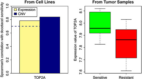 TOP2A gene expression and CNV in resistant and sensitive cell lines as well as in tumor samples.