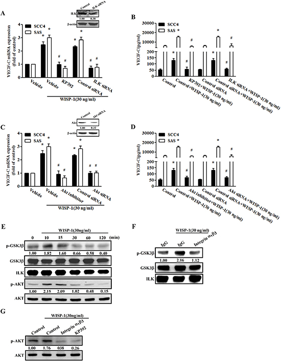 The ILK-dependent Akt signaling pathway is involved in WISP-1-induced VEGF-C expression.