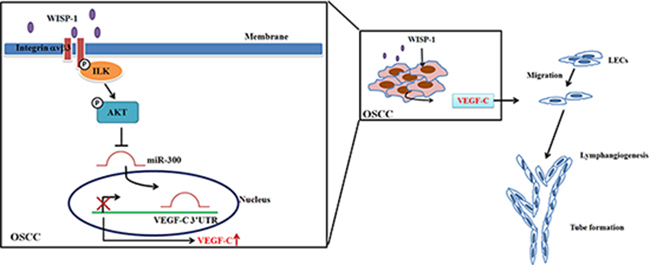 Schema of signaling pathways involved in WISP-1-promoted VEGF-C expression and lymphangiogenesis in OSCC.