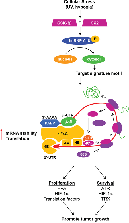 Based on our published observations and the data presented here we propose the following mechanism for hnRNP A18 tumor promoting activity.