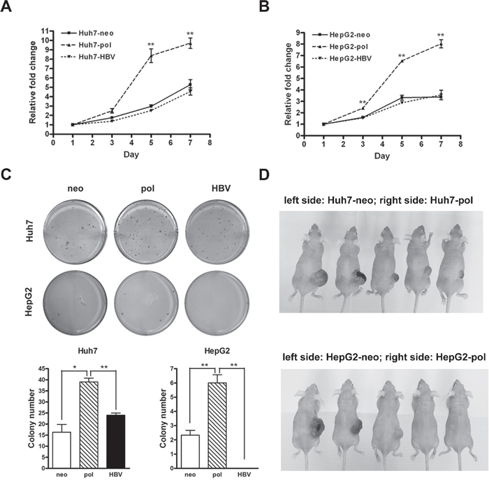 HBV carrying LFCD mutation promoted cell growth in vitro and in vivo.
