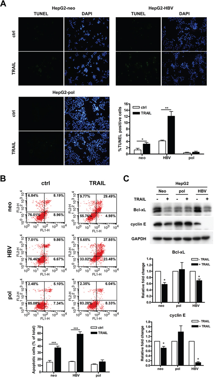 HBV carrying LFCD mutation inhibited TRAIL-induced cell apoptosis in HepG2 cells.
