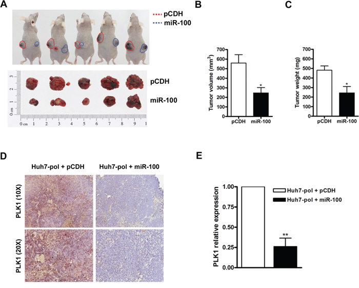Suppression of tumor growth by miR-100 in Huh7-pol xenografts.