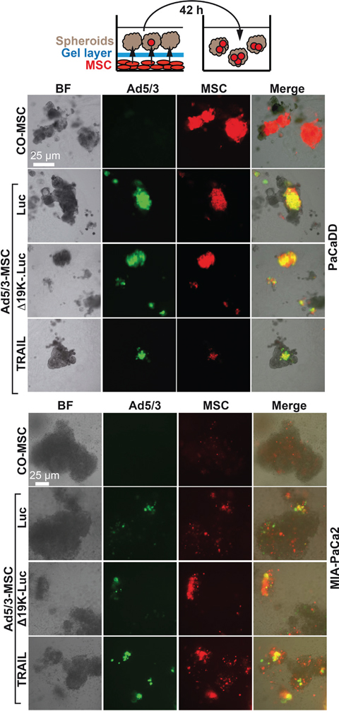 OAd-infected MSC carriers invade tumor spheroids.