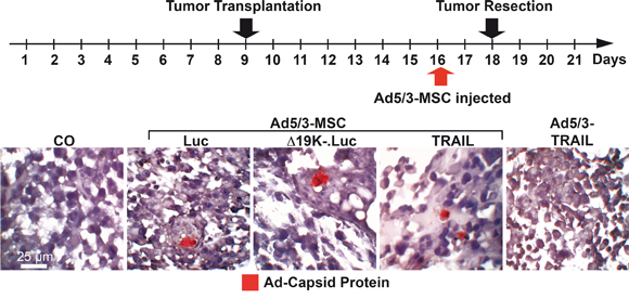 OAd-infected MSCs invade tumors in vivo.