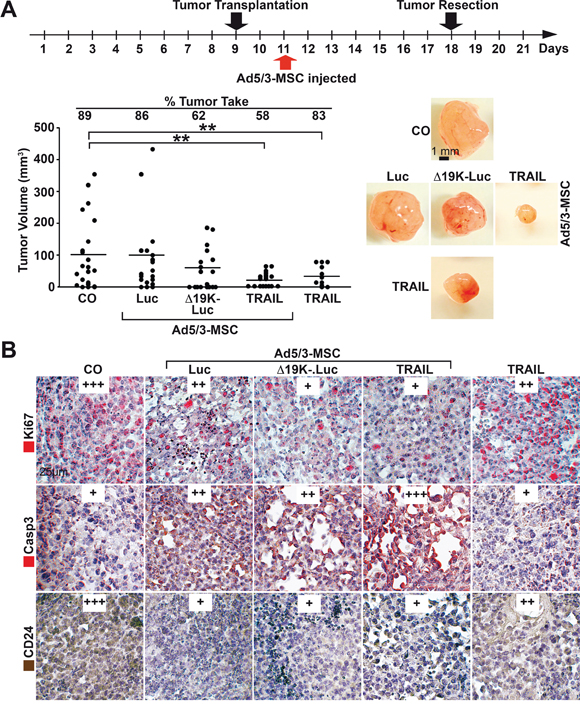 MSC-delivered OAds reduce tumor growth in vivo.