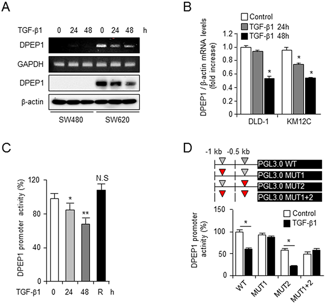 TGF-β transcriptionally suppresses the expression of DPEP1.