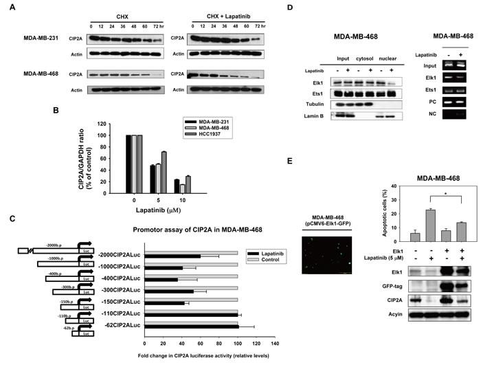 Lapatinib inhibits transcription of CIP2A.