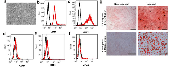 Phenotypic characterization of mouse BM-MSCs.