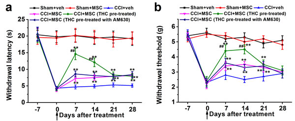 THC-pre-treated BM-MSCs significantly enhances the effects of BM-MSCs on the thermal hyperalgesia.