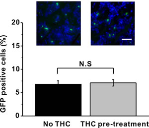 THC pre-treatment has no impact on the percentage of GFP-labeled BM-MSCs in the sciatic nerve 24 h after administration.