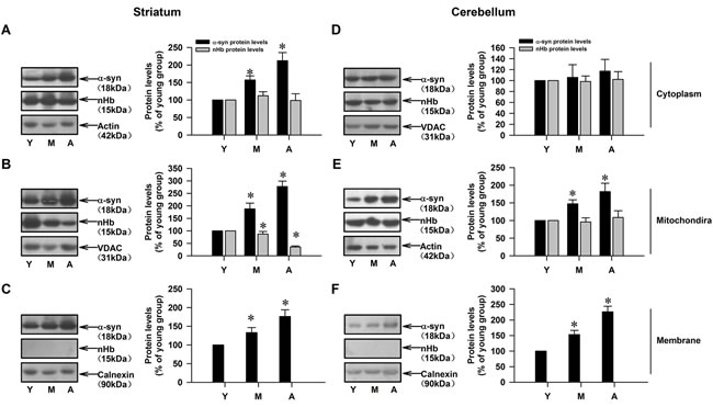 Age-dependent alterations of nHb and α-syn in cytosolic-, mitochondrial-, membrane fractions of monkey brains.
