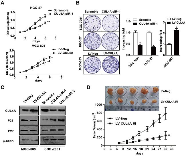 CUL4A promotes GC cell proliferation.