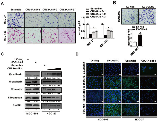 CUL4A promotes GC invasion and EMT.