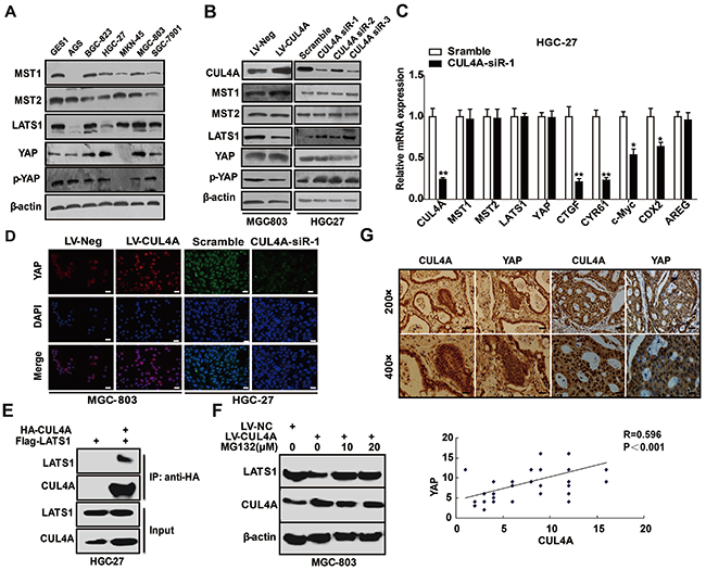 CUL4A regulates Hippo-YAP signaling.
