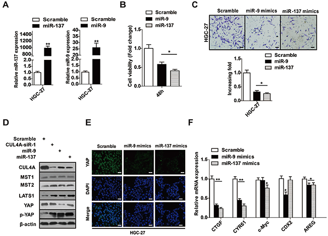 miR-9 and miR-137 regulate the CUL4A-LATS-Hippo signaling pathway.