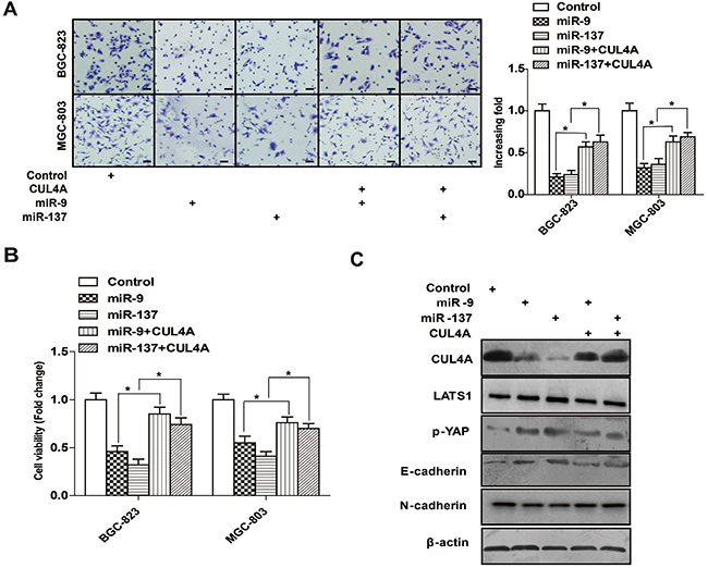 Overexpressing 3′-UTR-less CUL4A rescues miR-9/137-mediated inhibition of cell proliferation and invasion.