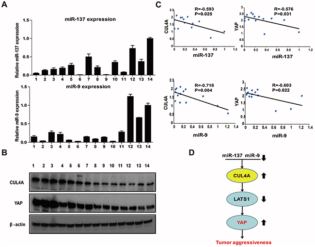 Clinical relevance of the miR-9/137-CUL4A-Hippo signaling axis in fresh GC tissues.