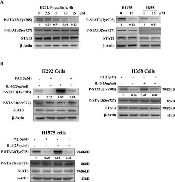 Physalin A inhibits constitutive and IL 6-induced STAT3 phosphorylation at Tyr705.