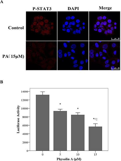 Physalin A suppresses p-STAT3 nuclear translocation and STAT3-dependent luciferase activity.