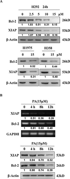Physalin A suppresses the expression of the STAT3 target genes, Bcl-2 and XIAP.