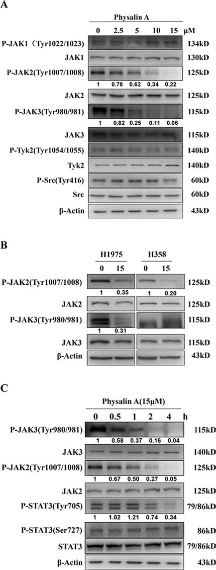 Physalin A inhibits phosphorylation of JAKs in human NSCLC cells in a dose- and time-dependent manner.