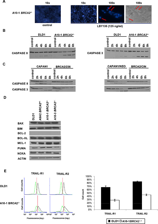 Apoptosis and CASPASE8 recruitment in BRCA2−/− cells are not dependent on the mitochondrial pathway or on the regulation of TRAIL-receptors.