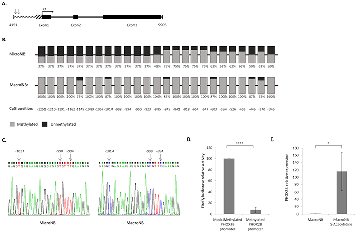High methylation level of the PHOX2B promoter reduces its expression.