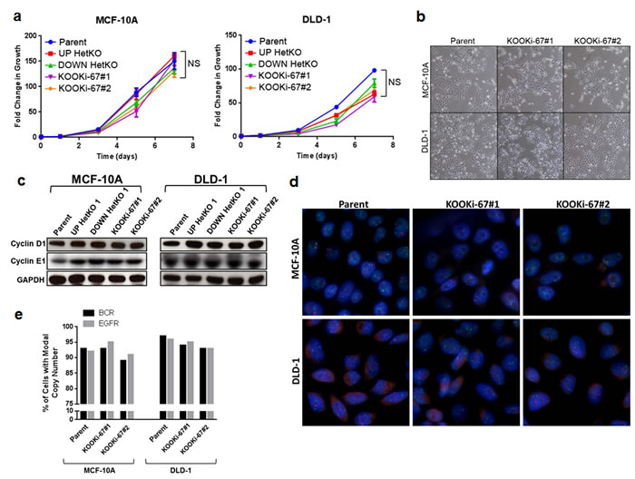 Loss of Ki-67 does not affect cell proliferation in bulk culture or alter morphology and does not induce chromosomal instability.