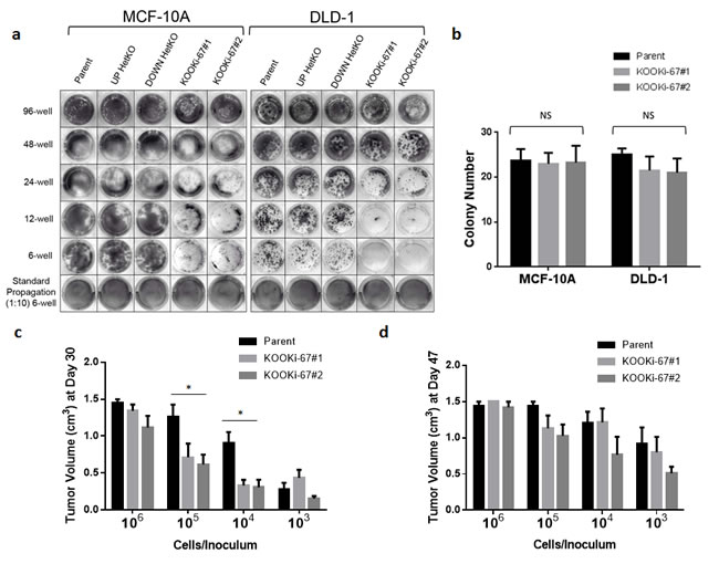 Ki-67 null cells have decreased clonogenic proliferation