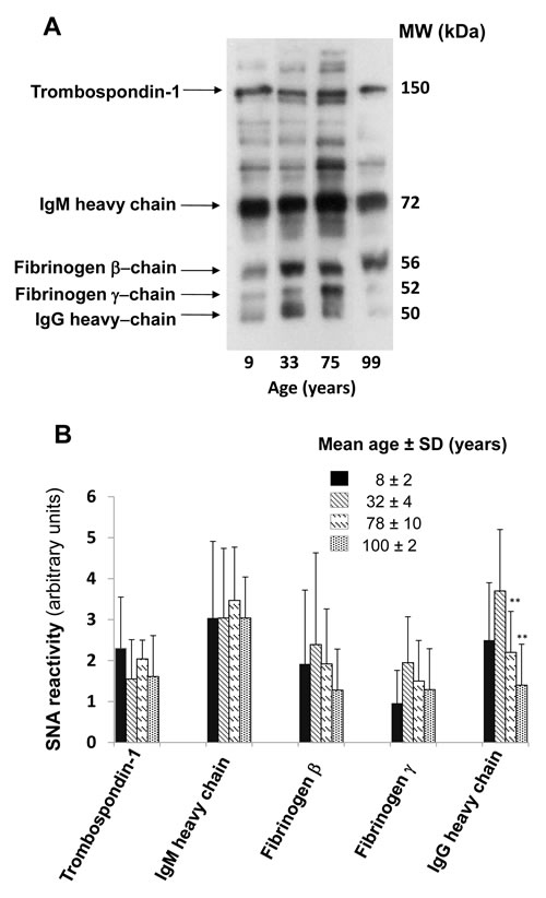 Age-dependent α2,6-sialylation of major plasmatic glycoproteins.