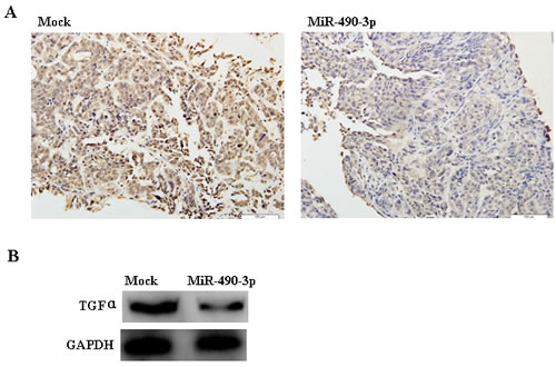 Immunohistochemistry (A) and Western Blotting (B) indicated that TGFα expression in the tumor xenografts of hsa-miR-490-3p-treated nude mice was decreased compared with that in mock-transfected nude mice.