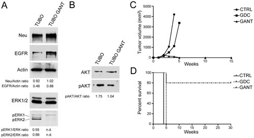 Effect of GANT-61 (GANT) on the protein expression of ErbB2/