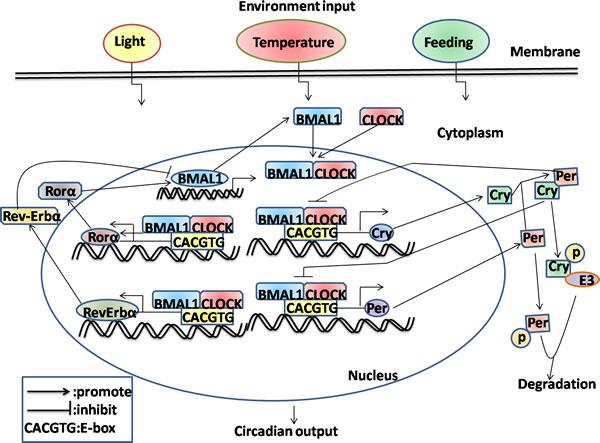 Schematic representation of molecular interactions in mammalian circadian transcriptional negative feedback loops.