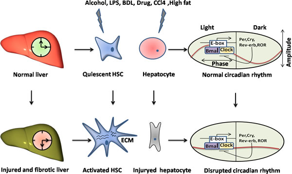 The disruption of circadian rhythms exists in the liver injury and fibrosis.