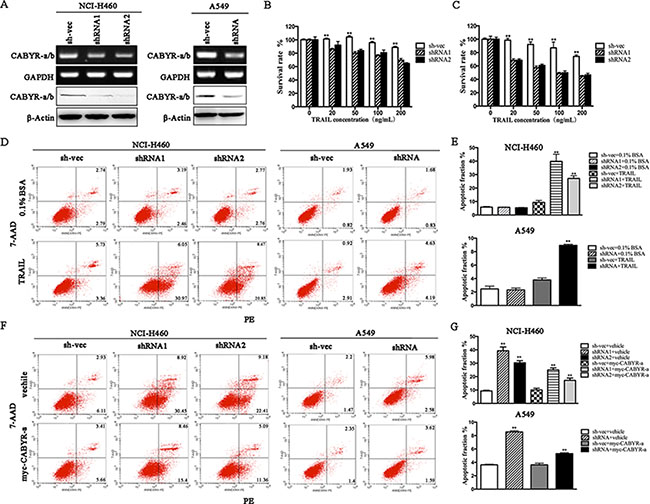 Silencing of CABYR-a/b enhances TRAIL-induced apoptosis in lung cancer cells.
