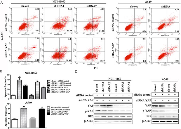 Suppression of YAP does not decrease TRAIL-induced apoptosis in cells that are stably silenced for CABYR-a/b.