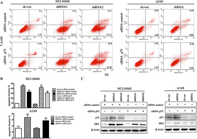 Silencing of p73 does not inhibit TRAIL-induced apoptosis in cells that are stably silenced for CABYR-a/b.