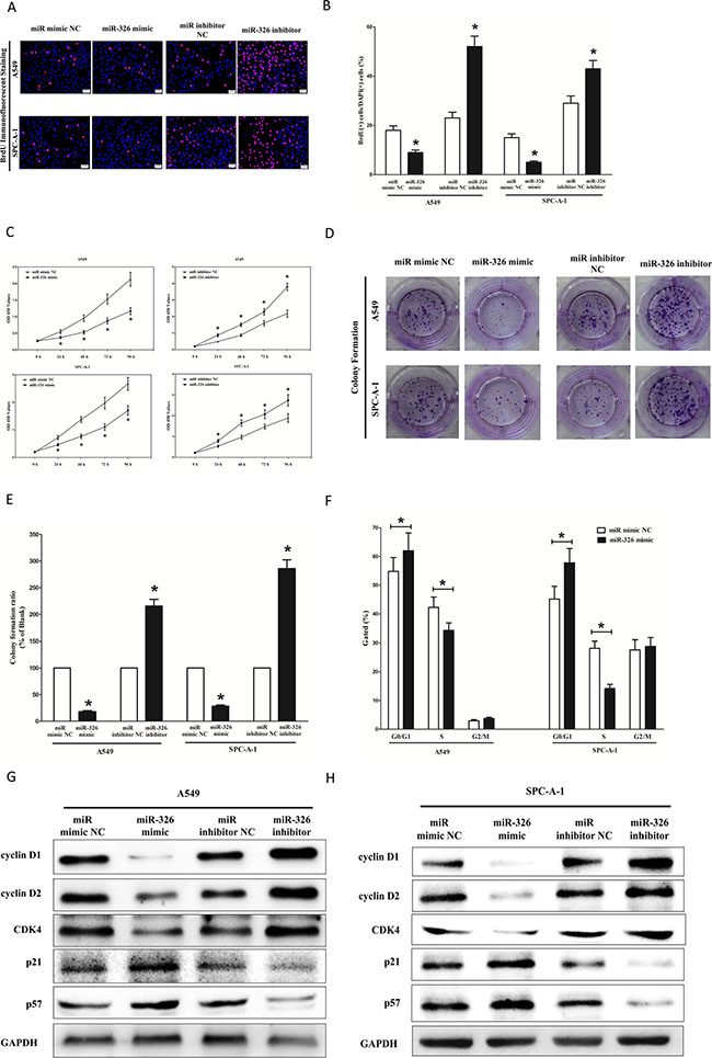 Ectopic expression of miR-326 inhibits proliferation and colony formation of A549 and SPC-A-1 cells.
